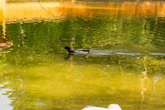 One wild duck mallard swiming. Fast in the lake in the Novosibirsk zoo, Russia Stock Image