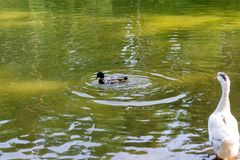 One wild duck mallard swiming. In the lake and the white goose looking on it in the Novosibirsk zoo, Russia Stock Image