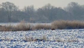Wild fox in meadow in winter, Lithuania. One wild fox near reed plants in field in winter royalty free stock image