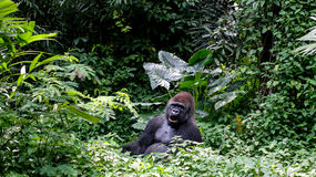 One Wild Gorilla Silverback Mountain in Tropical Jungle Royalty Free Stock Images