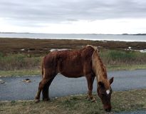 Assateague Island Wild Horse, Maryland, USA. One of the wild horses that roam the shoreline of Assategue Island in Maryland, United States, with the ocean in the Royalty Free Stock Images