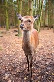 Deer in forest wild life Royalty Free Stock Photography