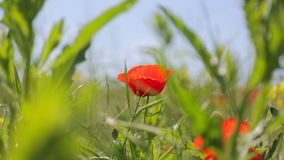 One wild red poppies. Flower bed with blooming poppies. Two bees fly over flowers. One fast and one slow. Light wind. View from above stock video footage