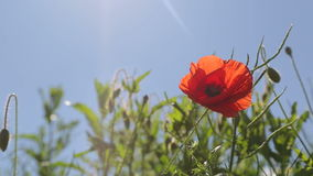 One wild red poppies. Flower bed with blooming poppies. Two bees fly over flowers. One fast and one slow. Light wind. View from above stock footage