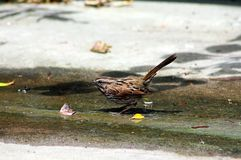 Wild Song Sparrow. One wild Song Sparrow is trying to find its food, bird Stock Photos