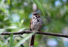 Wild Song Sparrow. One wild Song Sparrow is trying to find its food, bird Royalty Free Stock Images