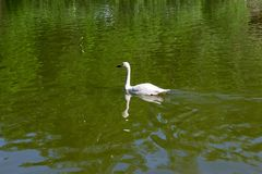 One wild white swan swiming. Fast in the lake with green water in the Novosibirsk zoo, Russia Stock Photos