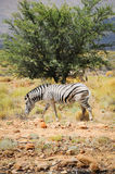 One wild zebra in Afrian bush Stock Photo