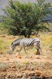 One wild zebra in Afrian bush Stock Photo