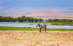 One wild zebra in a African flood plain Royalty Free Stock Photos