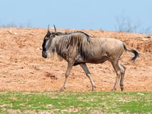 One wildebeest, also called gnus Connochaetes walks the earth on a sunny day and looks around royalty free stock photos