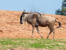 One wildebeest, also called gnus Connochaetes walks the earth on a sunny day and looks around royalty free stock images