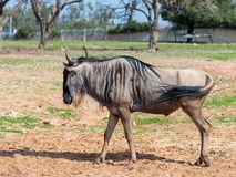 One wildebeest, also called gnus Connochaetes walks the earth on a sunny day and looks around stock photography