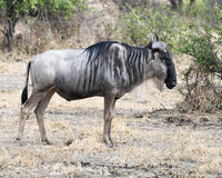 One Wildebeest closeup sideview standing in the Ngorongoro Crater Royalty Free Stock Photography