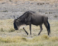 One Wildebeest closeup sideview walking in the Ngorongoro Crater Stock Image