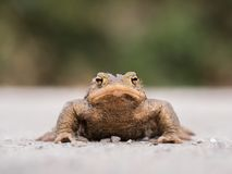 One toad bufo bufo looking to a camera. One wildlife toad bufo bufo looking to a camera Stock Photo