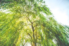 One Willow tree closeup stock photography
