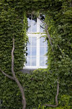 One windows and wall covered in ivy leaves. An old house with one windows and its wall covered in ivy leaves Stock Photo