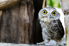One wing left owl Royalty Free Stock Photography