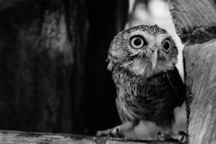 One wing left owl Royalty Free Stock Images