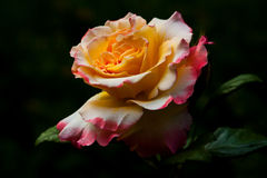 One Wish. Pastel Rose in the garden. Macro photography of nature Stock Photography