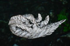 One withered leaf. Royalty Free Stock Photos