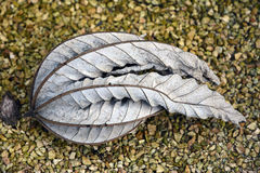 One withered leaf. Stock Photos