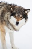 One Wolf Alone in the Snow Stock Photo