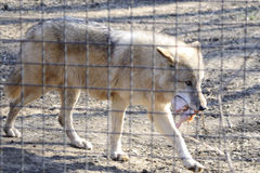 One wolf eating prey in zoo. Area Royalty Free Stock Photos