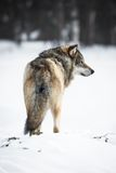 One Wolf in the forest Royalty Free Stock Photos