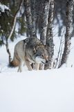 One Wolf sneaking in the forest Stock Photo