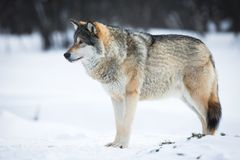 One Wolf in the Snow. Wolf in a norwegian winter forest. Cold day, february Royalty Free Stock Photography