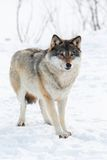 One Wolf standing in the snow Stock Image
