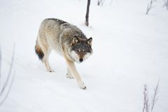 One Wolf in walking alone Stock Photography