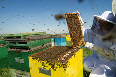 One woman beekeeper checking the honeycomb of a beehive. Horizontal front view of one woman beekeeper checking the honeycomb of a beehive with bees swarming Stock Image
