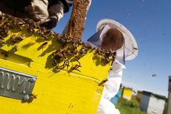 One woman beekeeper checking the honeycomb of a beehive Royalty Free Stock Photography