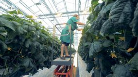 One woman looks for cucumbers at a greenhouse. stock video