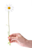 One women hand holding chamomile flower Royalty Free Stock Images