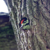 One woodpecker in the hollow Stock Image