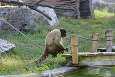 One woolly monkey. One single woolly monkey sitting alone on a rope outdoors near a bridge Royalty Free Stock Photo
