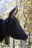 One yak in Nepal Himalayas Royalty Free Stock Photography