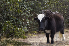 One yak in Nepal Himalayas Royalty Free Stock Image