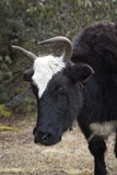 One yak in Nepal Himalayas Royalty Free Stock Photo