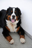 One year old bernese mountain dog Royalty Free Stock Images