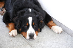 One year old bernese mountain dog Royalty Free Stock Photography