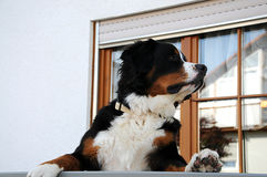 One year old bernese mountain dog Stock Images