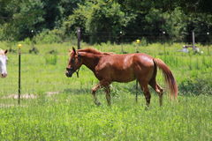 One year old filly Stock Photos