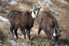 One year old mountain goats in natural habitat Royalty Free Stock Photos
