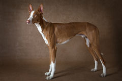 One year old Podenco ibicenco dog against brown background Stock Images