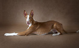 One year old Podenco ibicenco dog in front of brown background Royalty Free Stock Image